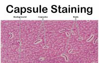 رنگ آمیزی کپسول باکتری