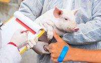 دانشمندان ژاپنی به دنبال پرورش اعضا بدن انسان در خوک هستند