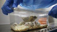 دانشمندان ژاپنی از سلولهای بنیادی موش «مینی قلب» ساختند