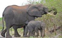 تلف شدن صدها فیل با باکتری آبی