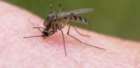 علت علاقه پشه به خون انسان چیست؟ علت علاقه پشه به خون انسان چیست؟