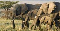 چرا فیلها در برابر سرطان مقاوم هستند؟
